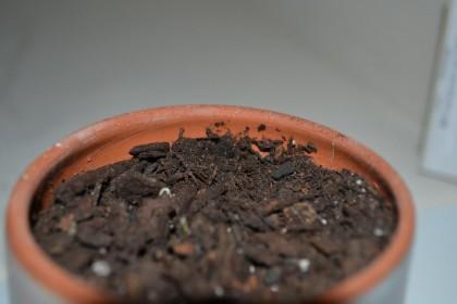 Tiny cilantro sprouts.