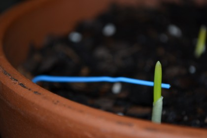 First garlic to sprout.