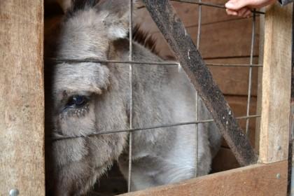 Somber Donkey