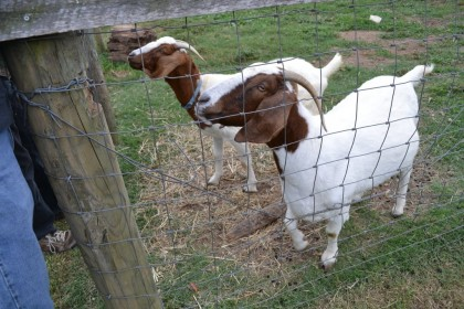 Super-friendly goats