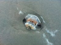 A beached jellyfish and resident crab at Pawleys Island.