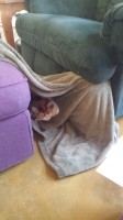 My cat Jackie curled up in a blanket.
