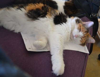 Jackie, asleep on my physical therapy papers.